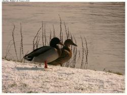 choisy-au-bac-47262-canards-givres-au-bord-de-l-aisne.jpg